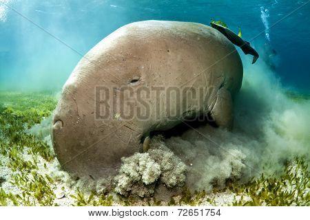 dugong aka sea cow