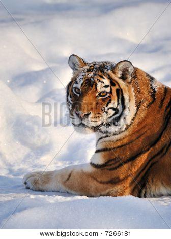 Siberian Tiger rest on Snow