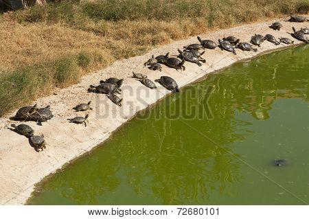 Two Turtles Sunning Photo