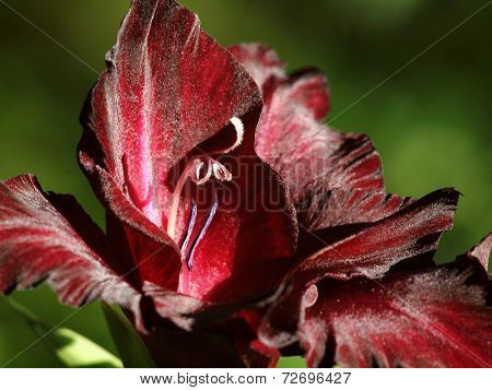 Beautiful Gladiolus Flower Zoom On Details
