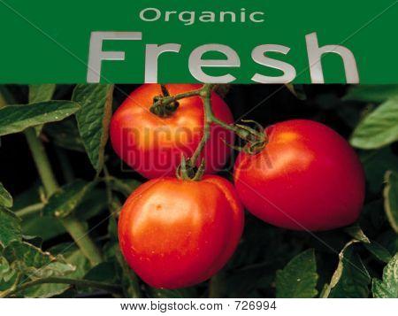 Organic Fresh tomato