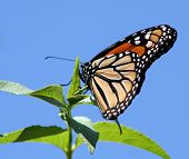 Close up of Monarch Butterfly sitting on leaf poster