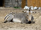 Zebra lie at the sand in the zoo  poster