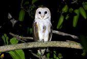 Barn Owl Tyto alba Birds of Thailand poster