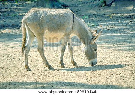 African wild ass eating, Equus africanus.