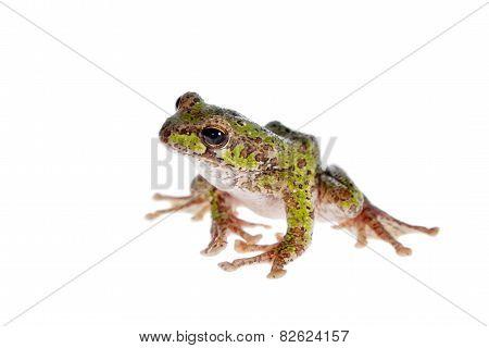 Polypedates duboisi, flying tree frog on white
