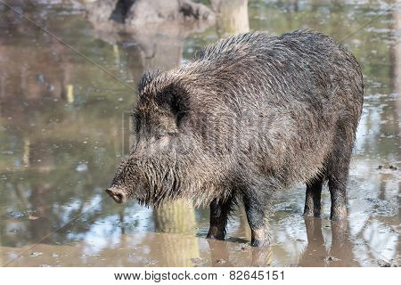 Female Boar