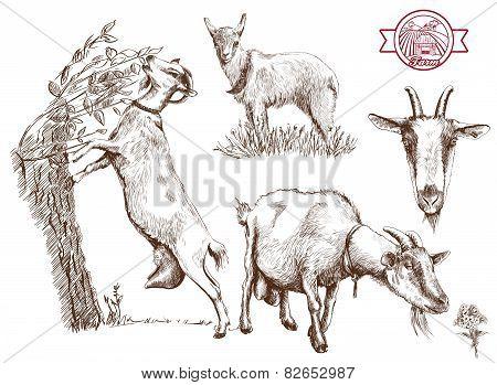 breeding goats