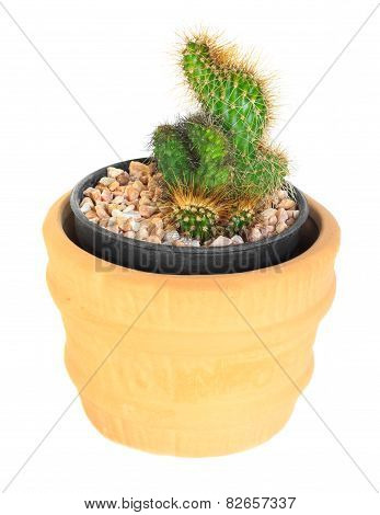 Cactus On Isolated Background ( Cereus Hexagonus Mill )
