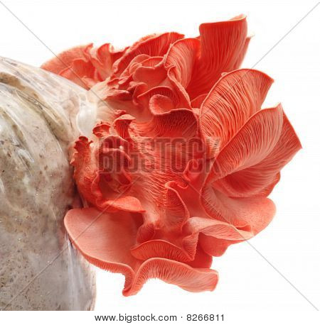 Pink oyster mushroom emerges out from seed poster
