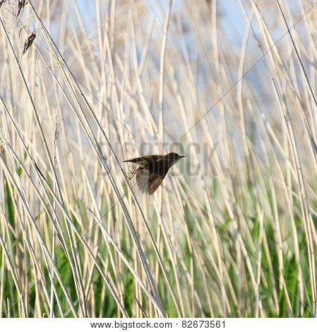 Reed Warbler Taking Off