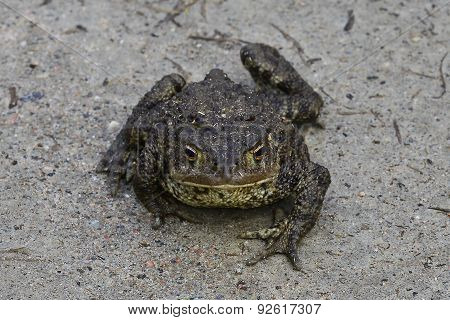 Toad with a stern countenance