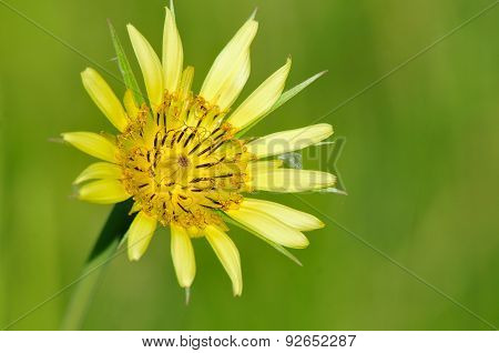 Tragopogon dubius (western salsify, western goat's-beard, wild oysterplant, yellow salsify, yellow goat's beard, goat's beard, goatsbeard, common salsify, salsify) is a species of Salsify native to southern and central Europe and western As poster