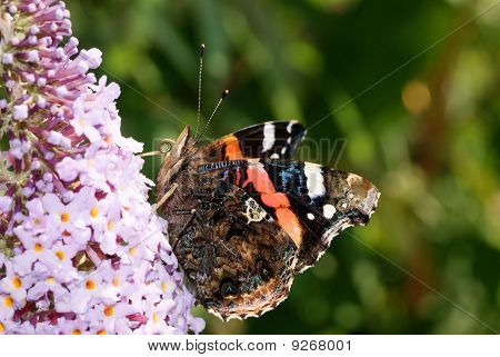 Red Admiral from below