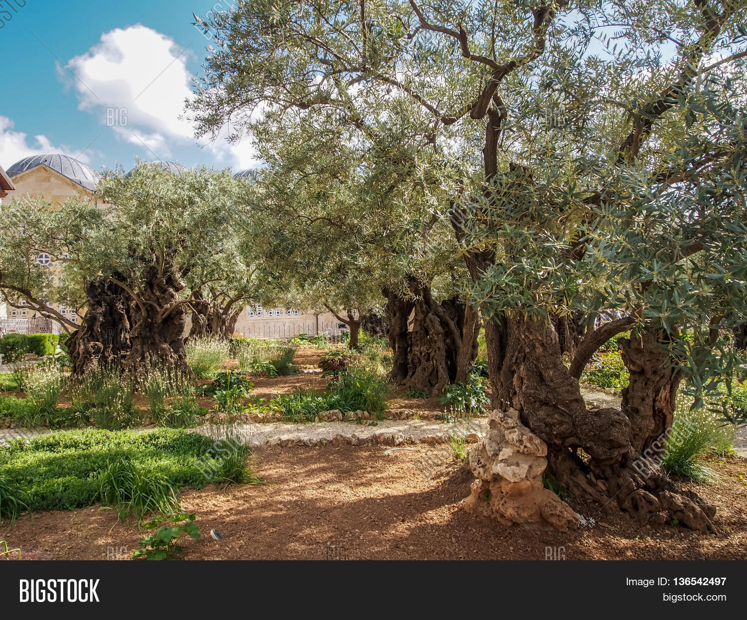 Old Olive Trees Garden Image & Photo (Free Trial) | Bigstock