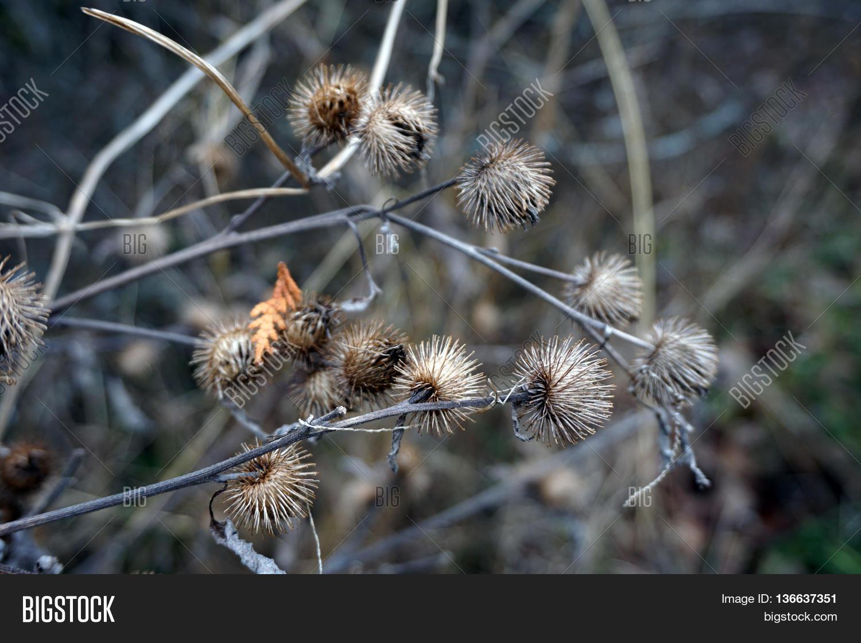 Burrs Greater Burdock Image & Photo (Free Trial) | Bigstock
