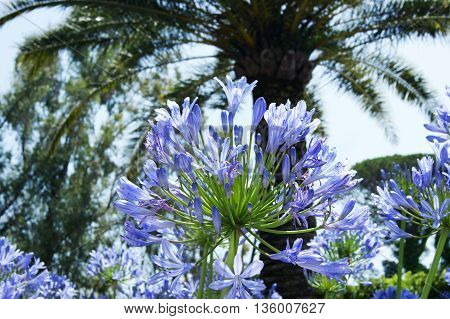 Agapanthus blue closed colors on the background of palm trees