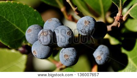 Close up of blue berries on a bush in sunlight