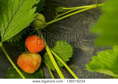 beautiful and delicious ripe strawberries grow on bushes