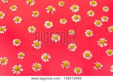 Composition of medical daisies on red background. Top view.