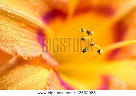 Lily macro wallpaper