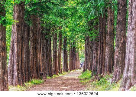 Metasequoia Park In Haneul Park