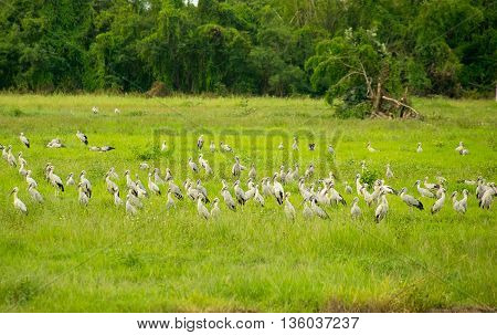 Open-billed stork or Asian openbill Bird group in Green meadow