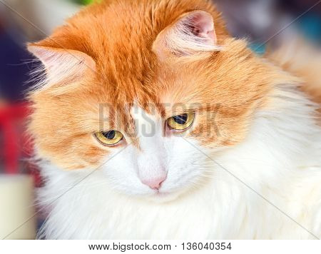 Portrait of pensive nice adult red cat