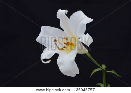White Oriental Lily on a black background