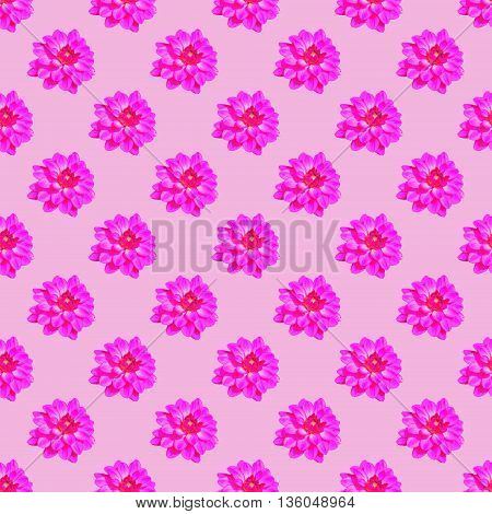 Seamless repeat pattern of vivid pink dahlia (Asteraceae) flowers against pale pink background