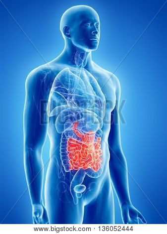 3d rendered, medically accurate illustration of the small intestine