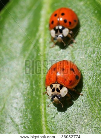 Two Ladybugs on a green leaf in bright sun
