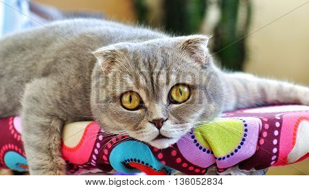Scottish Fold cat. Home cat. Pet cat.