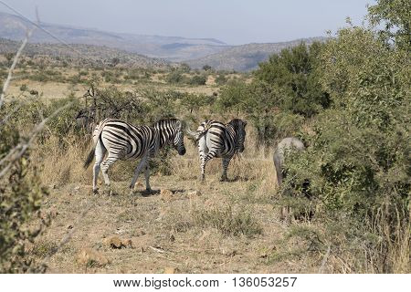 Zebra's In Nature In Pilansberg South Africa.