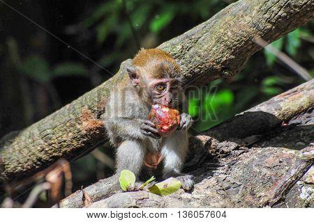 A Sumatran Maqaque Monkey baby is eating his fruit in Bukit Lawang Rainforest Sumatra Indonesia