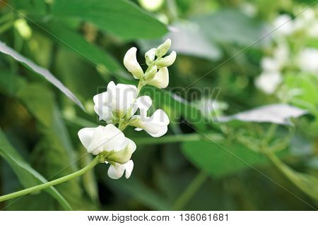 White color of bean flower on green leaf background