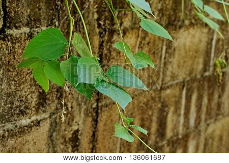 Green Leaf and vine on the old wall background