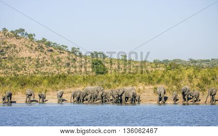 group of wild african bush elephants, in Kruger park