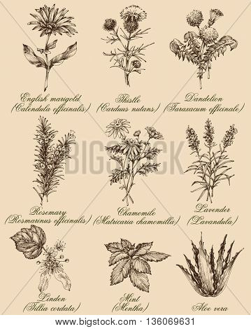 Flowers and herbs set. Medicinal plants and spices hand drawn, vintage engraving style. Botanical set for healthy living
