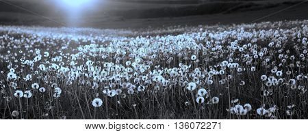 Duotoned photo of the Dandelion field in sunset witn shallow depth of field