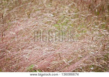 many pink grass flattened by the wind on a rustic forest meadow