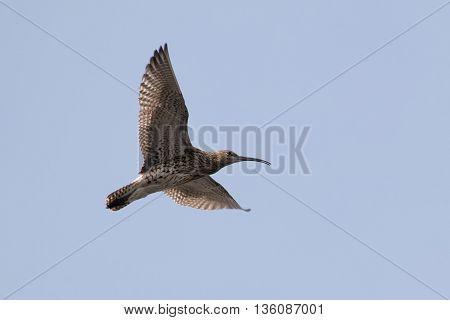 Eurasian curlew (Numenius arquata) calling and displaying in flight.