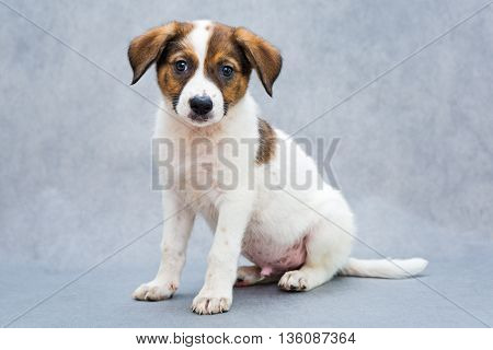 Small spotted puppy white and red color