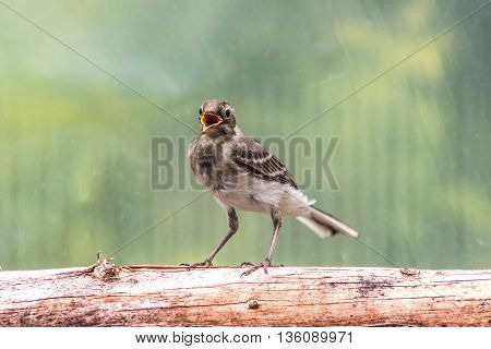 Beautiful tree pipit bird with open beak on log on green with yellow background
