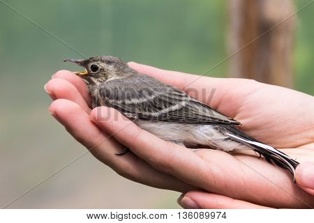 Beautiful tree pipit bird with open beak  in woman's hand