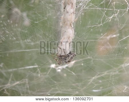 While spider spinning its white grid web