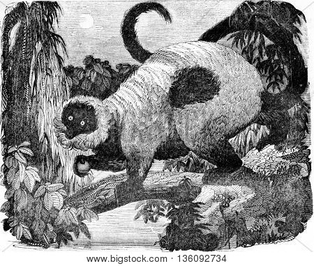 Ring-tailed lemur, vintage engraved illustration. Magasin Pittoresque 1836.