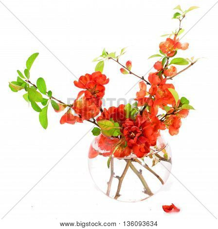 Branches of the Japanese quince with red flowers in a glass vase. It is isolated on white a close up small depth of sharpness