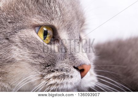 Fragment of a muzzle of a gray cat in a profile. Light background close up small depth of sharpness