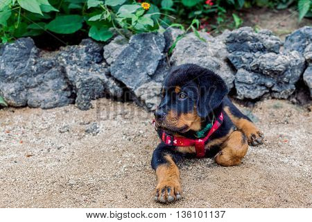 Rottweiler Puppy Posing Shot From Low Angle Typical Expression Of A Confident Dog